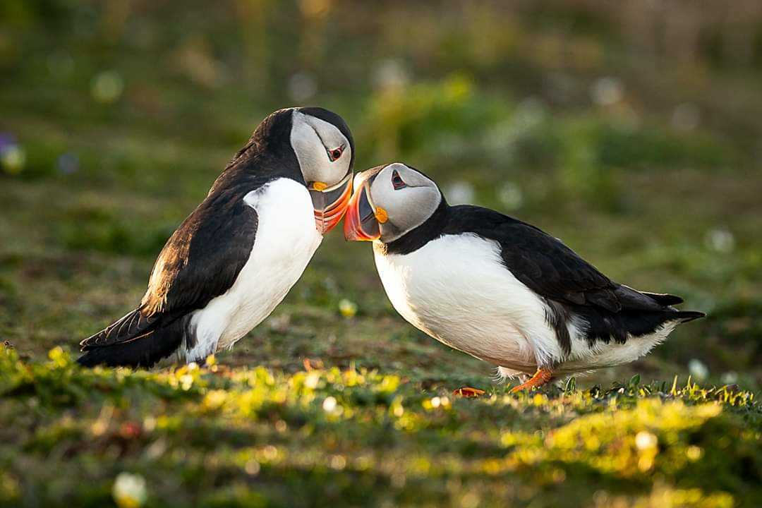 The beautiful Puffins on Skomer & Skokholm, Pembrokeshire, Wales